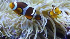 Anemonenfische tummeln sich in Anemone